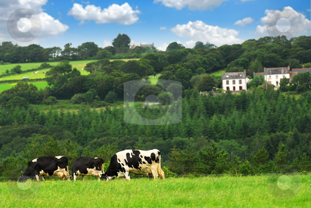 Cows in a pasture stock photo, Cows grazing on a green pasture in rural Brittany, France by Elena Elisseeva
