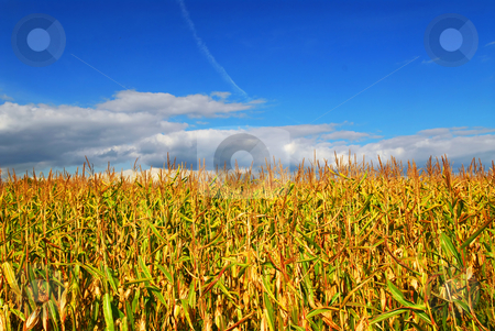 Corn field stock photo, Farm field with growing corn under blue sky. by Elena Elisseeva