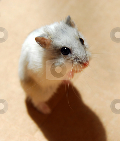Hamster stock photo, White dwarf hamster standing up by Elena Elisseeva