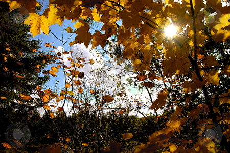 Autumn sun stock photo, Sun shining through yellow fall maple tree branches by Elena Elisseeva