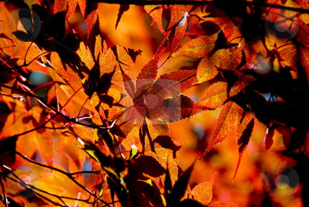 Maple leaves stock photo, Backlit leaves of japanese maple in the fall by Elena Elisseeva