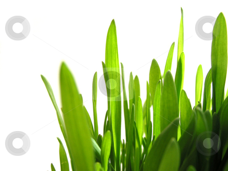 Green grass on white stock photo, Closeup on green grass isolated on white background by Elena Elisseeva