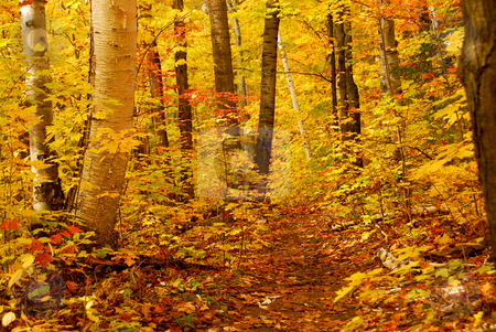Fall forest stock photo, Golden fall forest with hiking trail by Elena Elisseeva