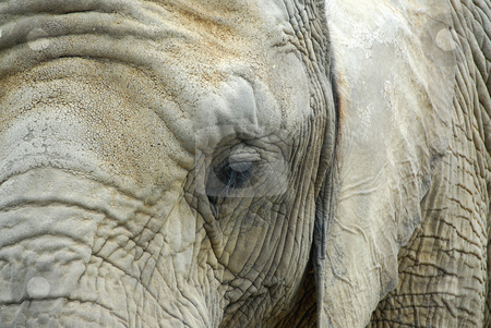 Elephant stock photo, Elephant close up by Elena Elisseeva