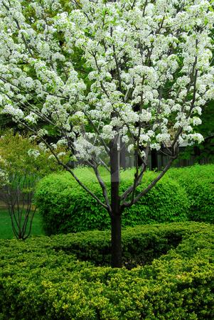 Blooming tree stock photo, Blooming fruit tree by Elena Elisseeva