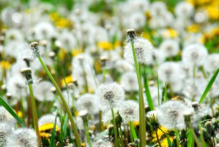 Seeding dandelions stock photo, A field of blooming and seeding dandelions by Elena Elisseeva