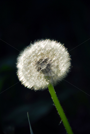 Dandelion stock photo, White seeding dandelion in late afternoon sunlight by Elena Elisseeva