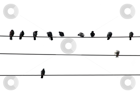 Birds on wire stock photo, Birds sitting on wires isolated on white background by Elena Elisseeva