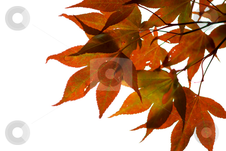 Japanese maple  stock photo, Japanese maple leaves on white background by Elena Elisseeva