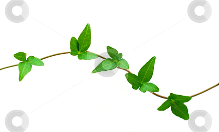 Green ivy on white stock photo, Botanical design element on white background: green ivy branch by Elena Elisseeva