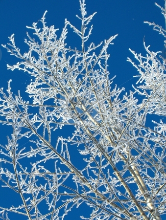 Frosty stock photo, Frost covered branches isolated against a blue sky. by Jessica Tooley