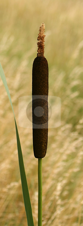 Cattail stock photo,  by Kjell Westergren