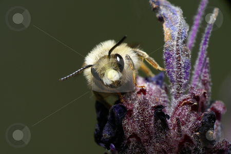 Bee stock photo, Bee in a flower by Humberto Ramos