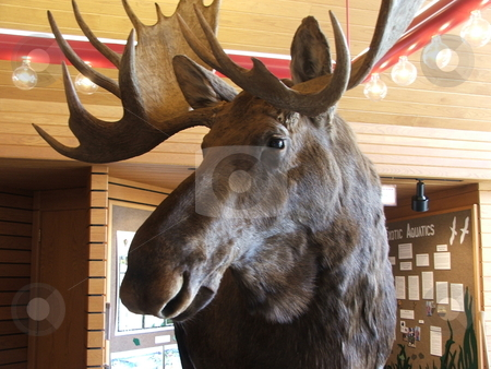 Bull moose stock photo, This Bull Moose trophy head is a prominent feature of the Rainy Lake Voyager National Park visitors center in International Falls, Minnesota.  This park on the border of the United States and Canada is a vast wilderness enjoyed by hunters and fisherman. by Dennis Thomsen