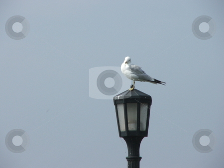 My Perch stock photo, Looking territorial, a gull checks out threats from atop a light post in Duluth, Minnesota's Canal Park. by Dennis Thomsen