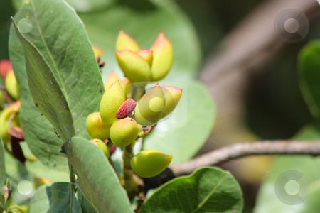 Pistachios on the Tree stock photo, Some not yet ready to collect pistachios on the tree by Georgios Alexandris