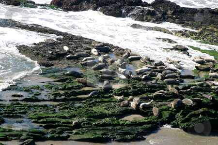 Seals stock photo, Seals at the coast at the Carpinteria Harbor Seal Rookery by Henrik Lehnerer