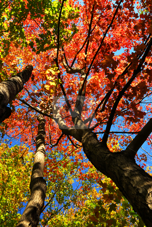 Autumn maple trees stock photo, Colorful fall forest on a warm autumn day by Elena Elisseeva