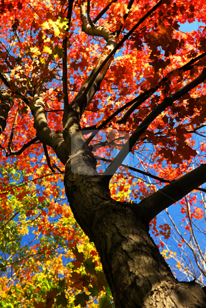 Autumn maple tree stock photo, Autumn maple tree with red leaves in the fall forest by Elena Elisseeva