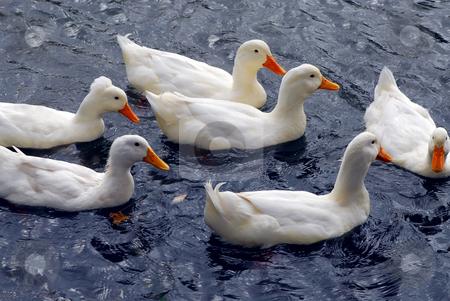 White ducks stock photo, Flock of white ducks swimming in the pond by Elena Elisseeva