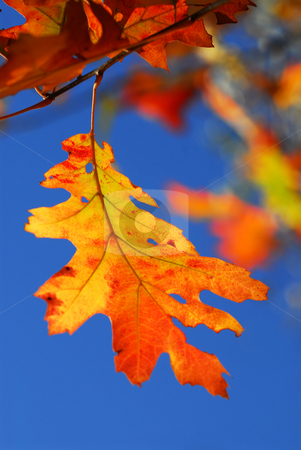 Autumn leaf stock photo, Bright autumn leaf on a fall oak tree branch, blue sky background by Elena Elisseeva