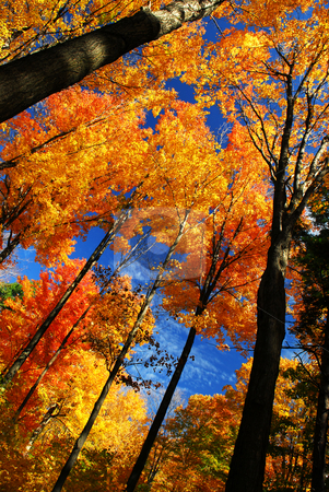 Autumn forest stock photo, Canopies of tall autumn trees in sunny fall forest by Elena Elisseeva