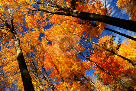 Fall maple trees stock photo, Fall maple trees glowing in sunshine with blue sky background by Elena Elisseeva
