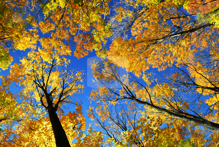 Autumn forest stock photo, Canopies of tall colorful autumn trees in sunny fall forest by Elena Elisseeva