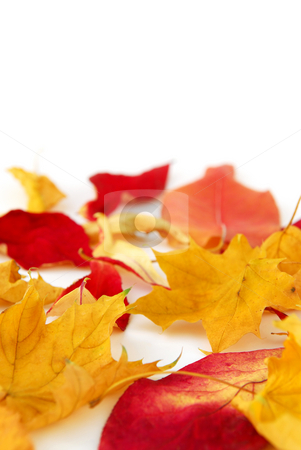 Autumn leaves stock photo, Dry colorful autumn leaves on white background by Elena Elisseeva