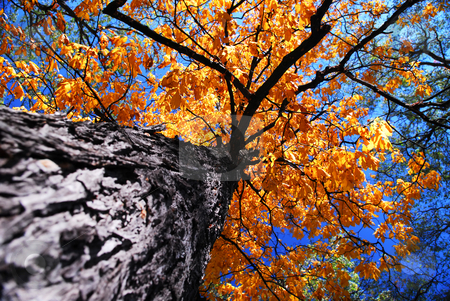 Old elm tree in the fall stock photo, Golden autumn canopy of an old tall elm tree in sunny fall forest by Elena Elisseeva