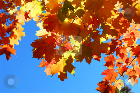 Fall maple leaves stock photo, Red fall glowing maple tree leaves on blue sky background by Elena Elisseeva