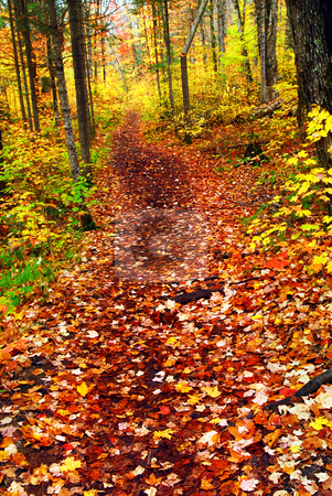 Trail in fall forest stock photo, Hiking trail in fall forest covered with colorful leaves. Algonquin provincial park, Canada. by Elena Elisseeva