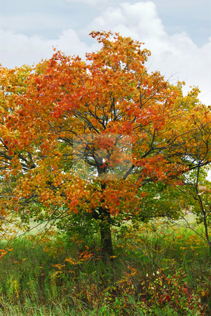 Autumn maple tree stock photo, Beautiful maple tree with red foliage in early fall by Elena Elisseeva