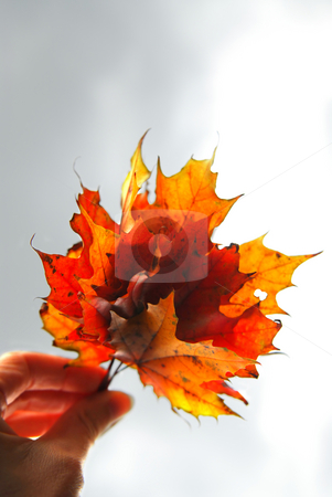 Maple leaves in hand stock photo, Closeup on a hand holding a bunch of bright fall maple leaves against grey overcast sky by Elena Elisseeva