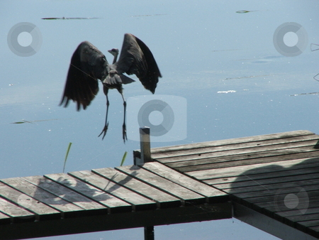 Heron jumps into flight stock photo, Gray heron's are a gangly bird with long legs and a giant wing span.  Here one prepares to launch in to flight from a Minnesota, dock. by Dennis Thomsen