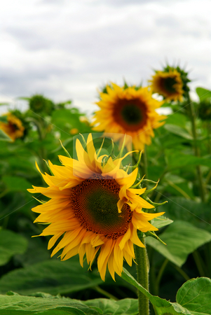 Sunflower field stock photo, Summer sunflower field with overcast cloudy sky by Elena Elisseeva