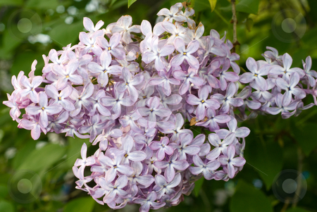 Lilacs stock photo, Close-up view of a bunch of lilac blossoms by Richard Nelson