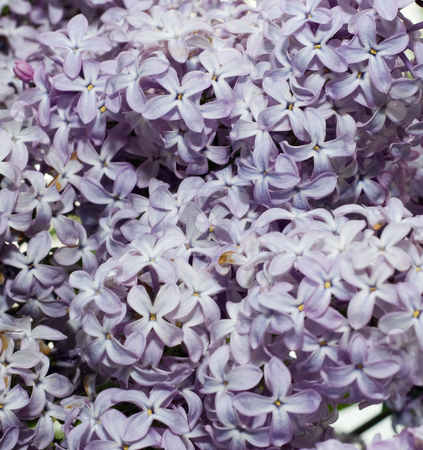 Lilac Background stock photo, A close-up view of a background of lilac flowers by Richard Nelson