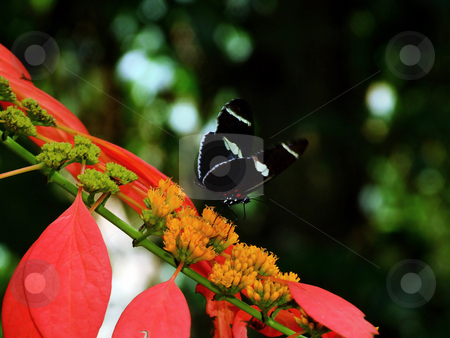 Black Butterfly stock photo, Black Butterfly perched on reddish plant by Marburg