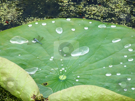 Lily Pad stock photo, Close up of a lily pad with a dragonfly by Marburg