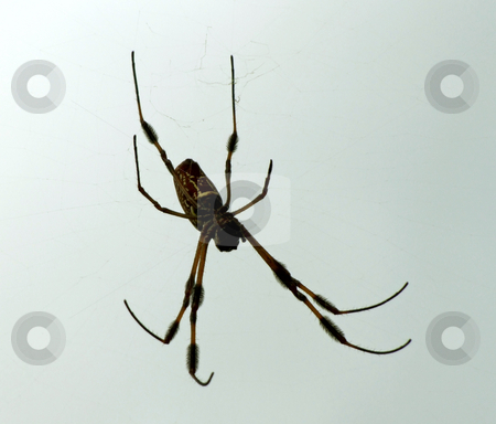 Spider stock photo, Spider hanging suspended from web by Marburg