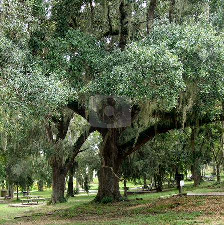 Tree Draped in Spanish Moss at Picnic Site stock photo, Tree covered in Spanish Moss near picnic tables by Marburg