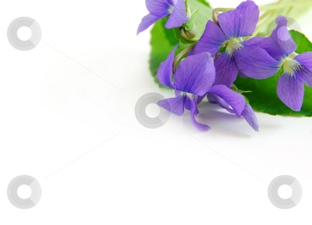 Violets on white stock photo, Spring border with white copy space and violet bouquet by Elena Elisseeva