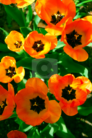 Tulips stock photo, Bright orange spring tulips view from top by Elena Elisseeva