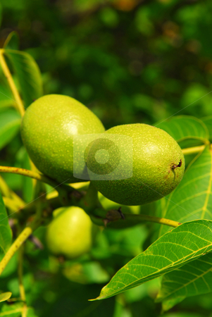 Walnuts on a tree stock photo, Green walnuts growing on a tree, close up by Elena Elisseeva