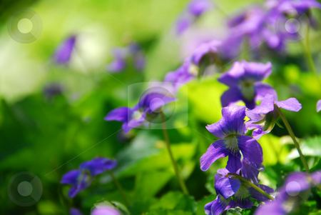 Violets with green background stock photo, Violets blooming in a garden in early spring by Elena Elisseeva