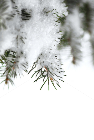 Snowy spruce branches stock photo, Christmas background with snowy spruce tree branches isolated on white by Elena Elisseeva