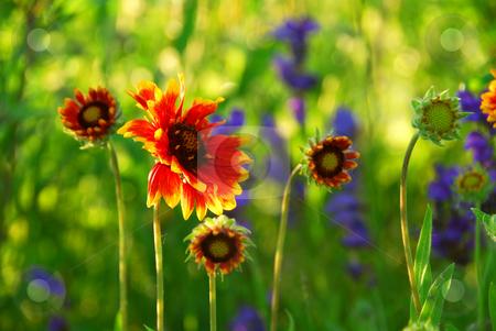 Indain blanket flowers stock photo, Wildflowers indian blankets blooming in a green meadow by Elena Elisseeva