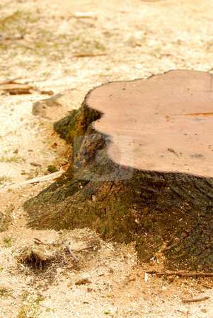 Tree stump stock photo, Stump of a freshly cut tree surrounded by saw dust by Elena Elisseeva
