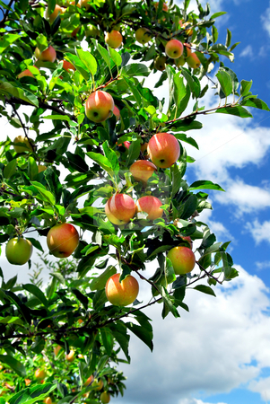Apples stock photo, Red ripe apples on apple tree, blue sky background by Elena Elisseeva